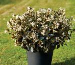 Begonia i.Sensation White Bronze Leaf F1 50 pelet