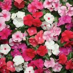Catharanthus r. Pacifica XP Mix 250s