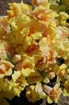 Antirrhinum m. Twinny Yellow Shades F1 500 seeds
