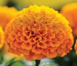 Tagetes erecta Taishan Orange 200s