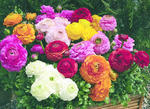 Ranunculus Magic Mix F1 250 pellets