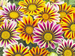 Gazania Frosty Flame Kiss Mix F1 200 seeds