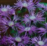 Amberboa muricata Desert Star 3g