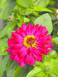 Zinnia elegans Short Stuff Cherry Shades 100s