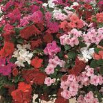 Impatiens w. Colour Coctail F2 0,25g