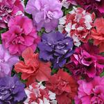 Petunia h. Duo Mixture F1 250 seeds