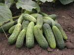 Cucumber Gherkin Blanka F1 10g