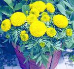 Tagetes erecta Antiqua Gold F1 20 seeds