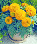 Tagetes erecta Antiqua Orange F1 200 seeds