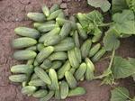 Cucumber Gherkin Elisabet F1 10g
