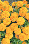 Tagetes erecta Inca II Orange F1 200s