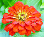 Zinnia elegans Short Stuft Scarlet F1 100s