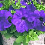 Petunia h. Express Blue F1 500s
