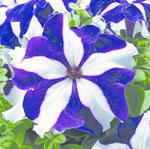 Petunia h. Express Blue Star F1 500s