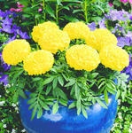 Tagetes erecta Antiqua Yellow F1 200 seeds
