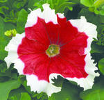 Petunia hybrida Frost Red F1 500 seeds