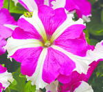 Petunia h. Express Rose Star F1 500s