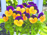 Viola c. Orange Jump-Up F1 500 seeds