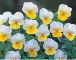 Viola c. Floral Cream F1 250s