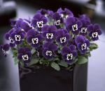 Viola c. Floral Purple Face F1 250 seeds