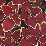 Coleus blumei Wizard Scarlet 500 seeds