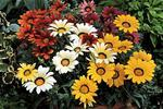 Gazania Frosty Kiss Mix  F1 200 seeds