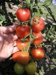 Pole tomato  Bejbino F1 1g