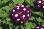 Verbena Obsession Cascade Burgundy with Eye 100s