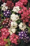 Verbena Obsession Cascade Mix 100s