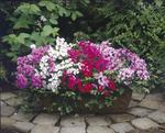 Pelargonium peltatum Tornado Mix 100 seeds