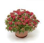 Verbena Obsession Cascade Red with Eye 100s