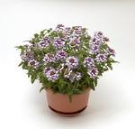 Verbena Obsession Cascade Violet Twister 100s