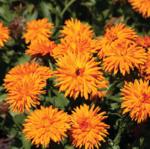 Calendula of. Calexis Orange FSN 500s