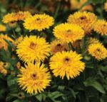Calendula of. Calexis Yellow FSN 500s