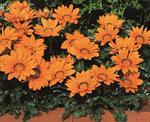 Gazania Kiss Orange F1 200s