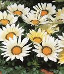 Gazania Kiss White F1 200 seeds