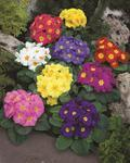 Primula acaulis Orion Mix F1 250 seeds