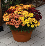 Osteospermum e. Akila Sunset Shades 100 seeds