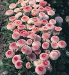 Bellis p. Tasso ligt pink wiht red center 500seeds