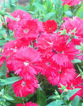 Dianthus car.Scarlet  Charms F1 200 pellets