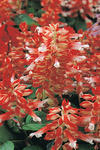 Salvia splendens Vista Red and White 250s