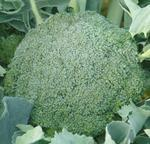 Broccoli Limba 10g