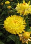 Helichrysum bracteatum Light Yellow 2g