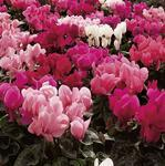 Cyclamen persicum Sierra Mix F1 100 seeds