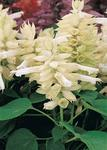 Salvia splendens Vista White 250s