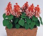 Salvia splendens Vista Salmon 250s