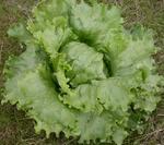Salát ledový Miniko 5g