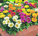 Gazania Kiss Mix  F1 200s