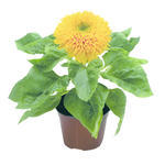 Helianthus annuus Teddy Bear 250s