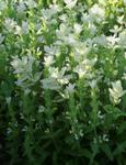 Salvia horminum White streaker 250s